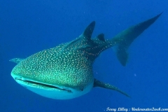 WhaleSharkWDSM_